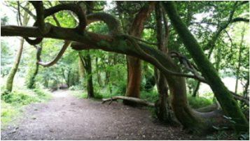 Ancient trees and path, photo by Rowena Beaumont